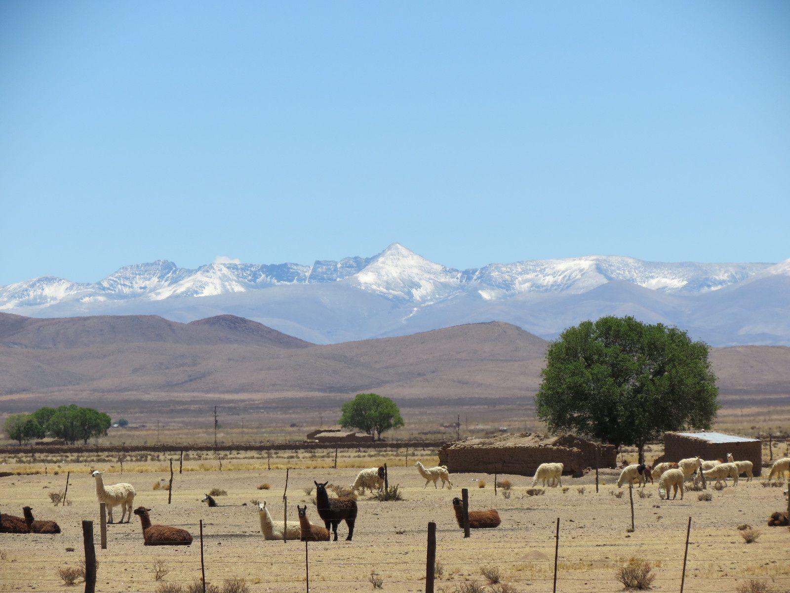 Lamas, vigognes et suris