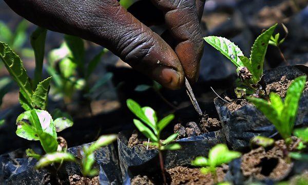 Entretien de plants au Kenya : les futurs prisonniers des lois sur la protection des variétés végétales ? (Photo : Tony Karumba/AFP)
