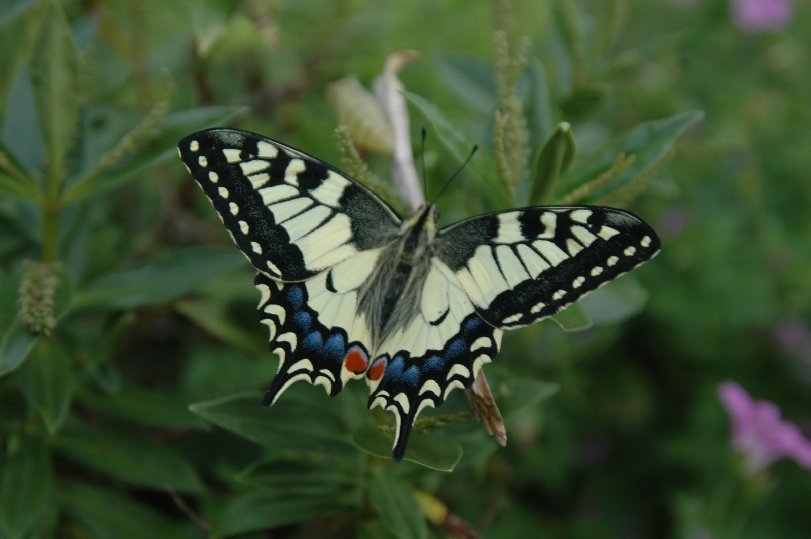 Machaon (Loritel Juin 2010)