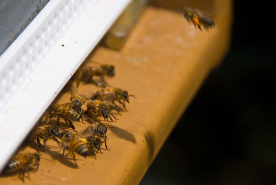 La planche d'envol de ma ruche en ce début juillet 2014