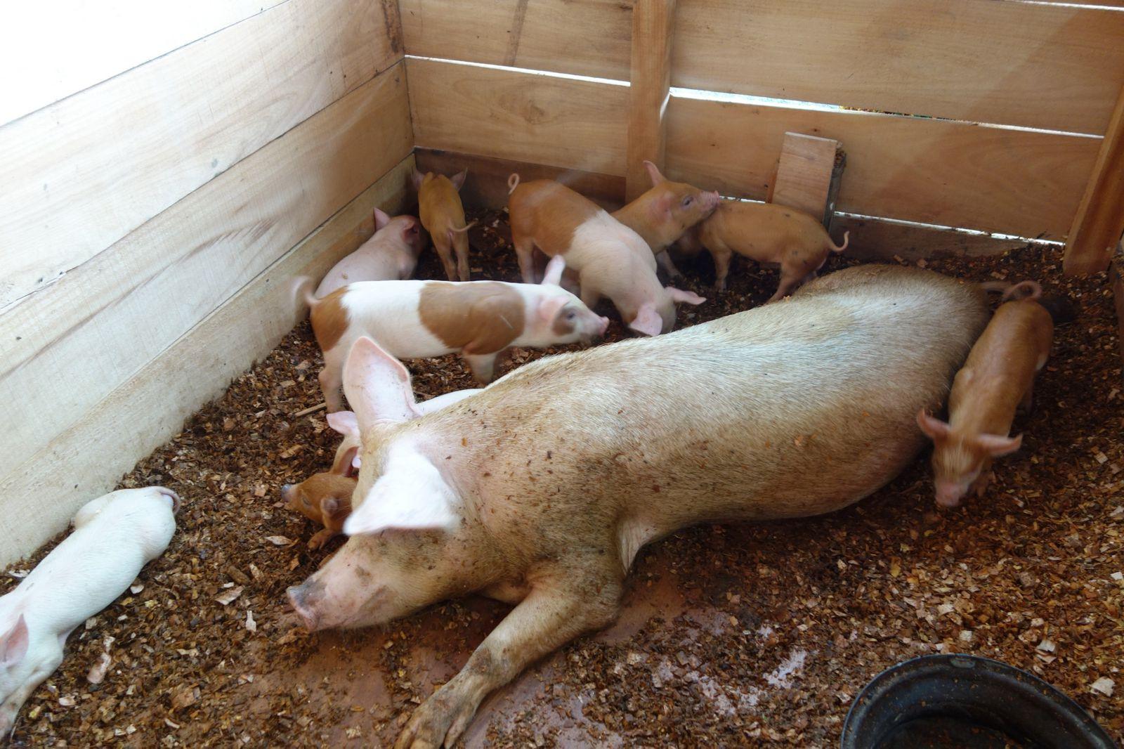 Elevage de porc à Essassa (lbv)