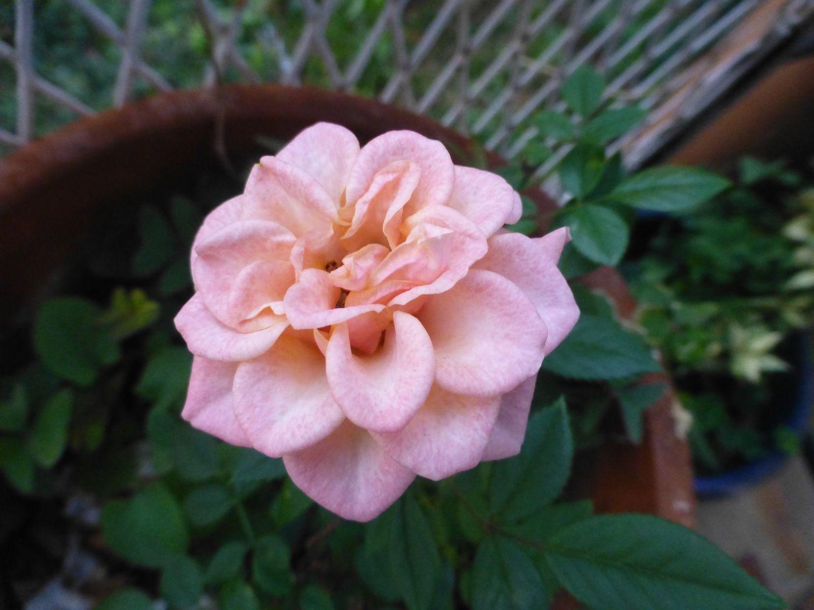 Roses de poète (2)
