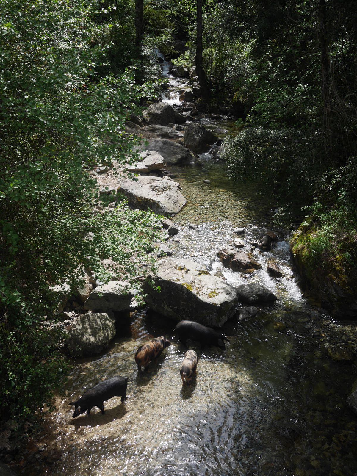Nos premiers cochons en bas de la cascade !