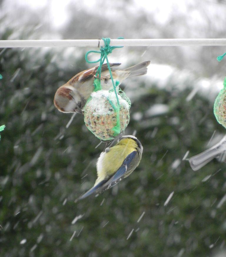 Les mésanges arrivent à cohabiter avec ces petits oiseaux marrons !