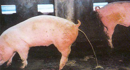 Как лечить свинью от рожи в домашних условиях 491