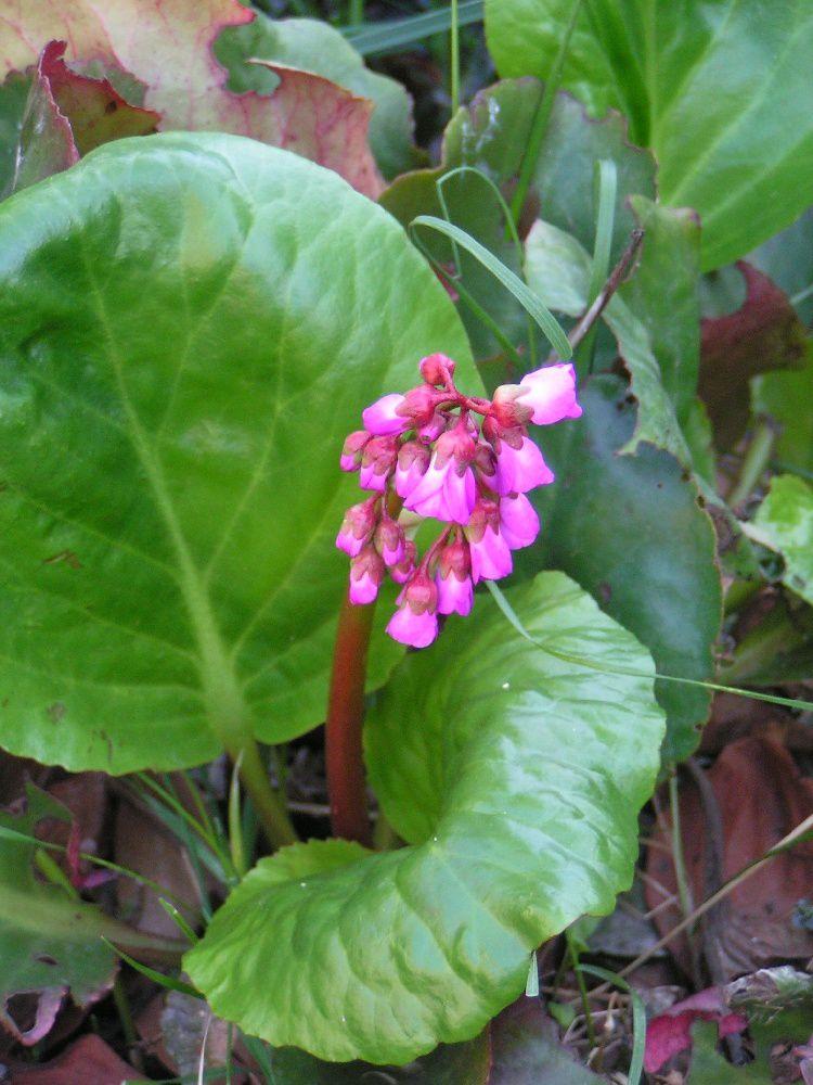 Bergenia cordifolia.....