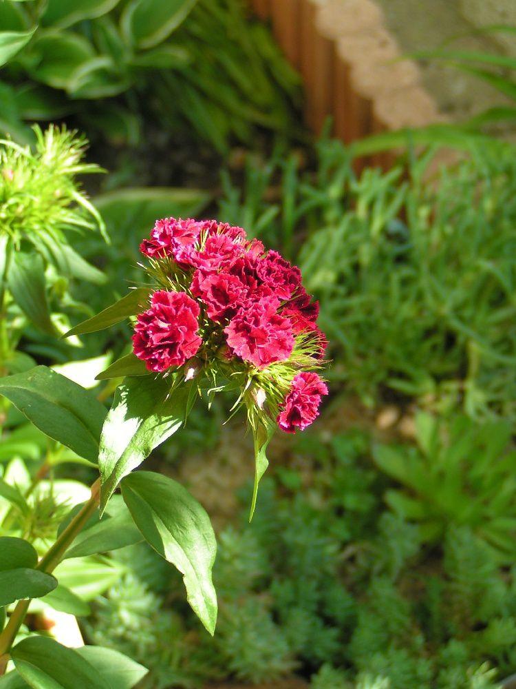 Les oeillets de po te le blog de - Quand faut il couper les fleurs fanees des hortensias ...