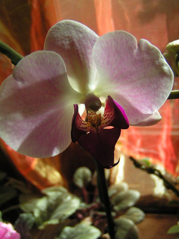 Mon orchidée refleurit...