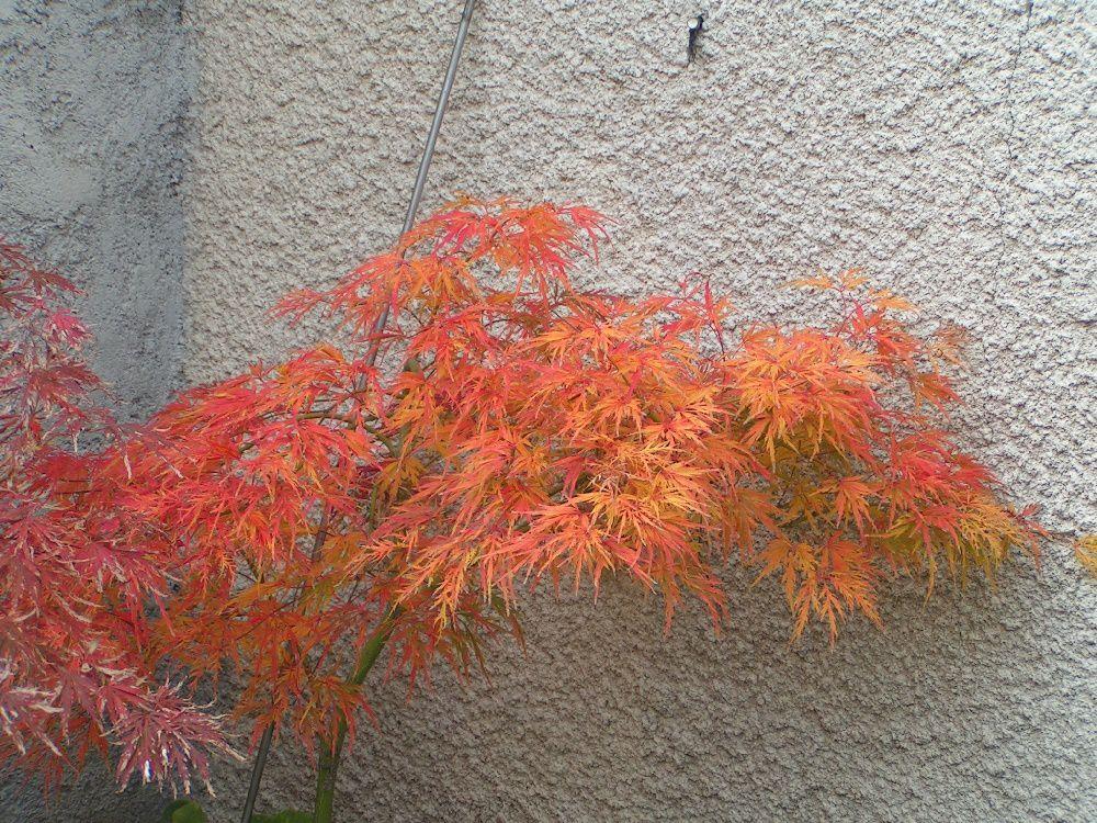 Un érable du japon en automne...