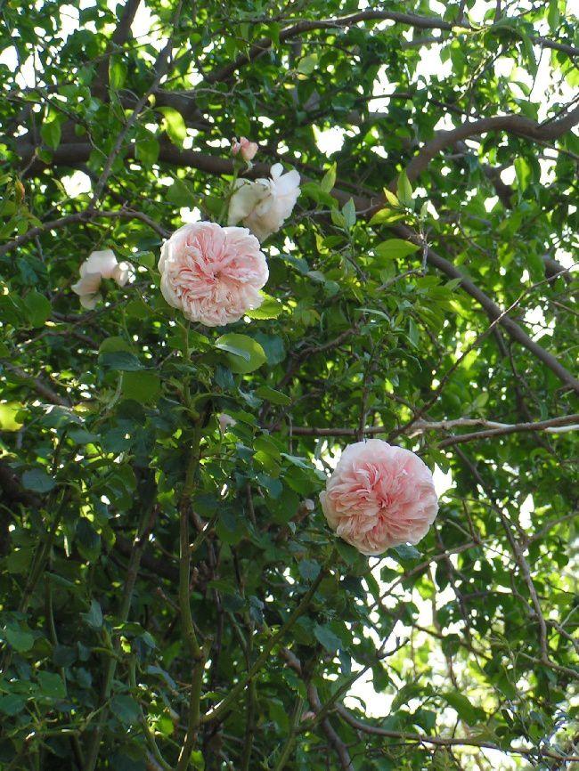 Le rosier anglais...