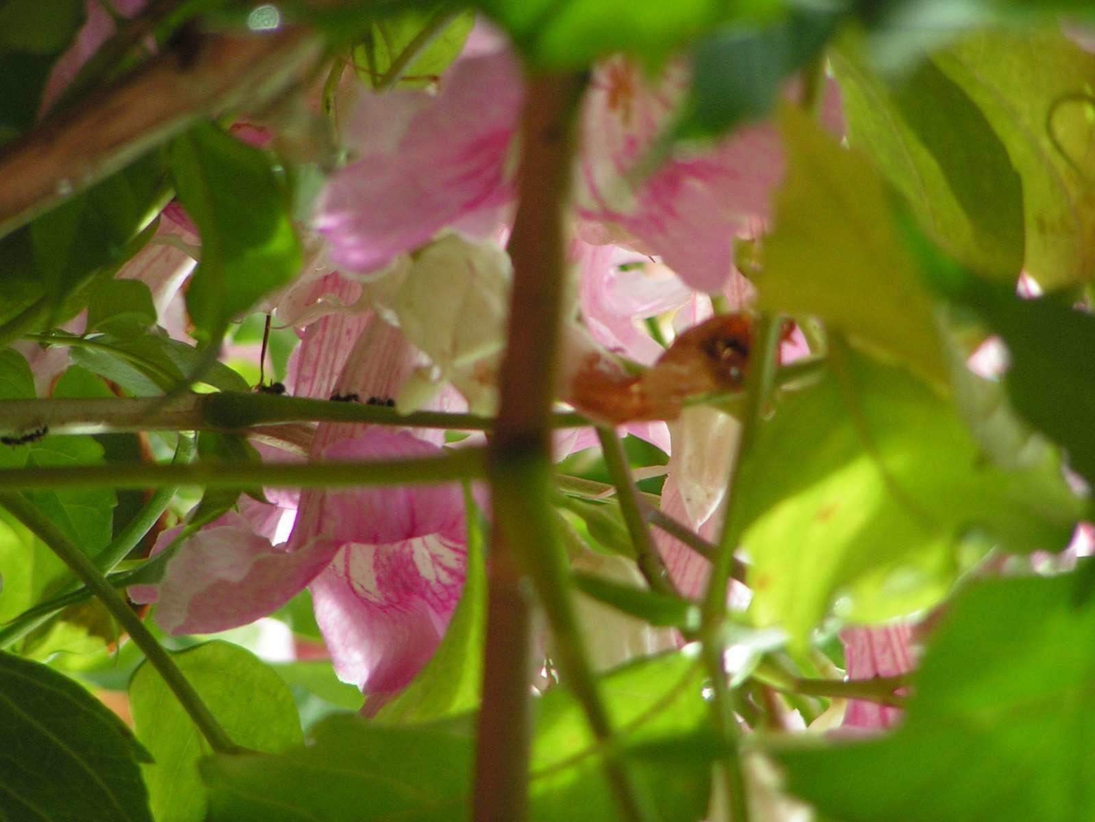 La Bignone rose....
