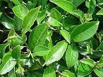 Tè verde: proprietà