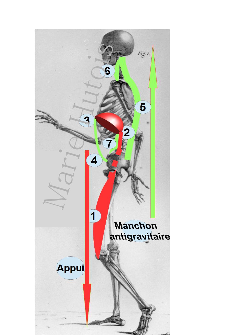 En rouge les muscles de l'appui : 1.quadriceps, 2.psoas 3. diaphragme en vert . En vert le manchon musculaire antigravitaire :   4. le transverse de l'abdomen  5. les muscles paravertébraux  6. le long du cou 7. le psoas interne et les piliers du diaphragme