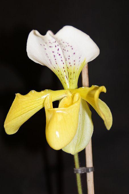 des orchid es fleuries toute l 39 ann e le blog de jean luc du 54. Black Bedroom Furniture Sets. Home Design Ideas