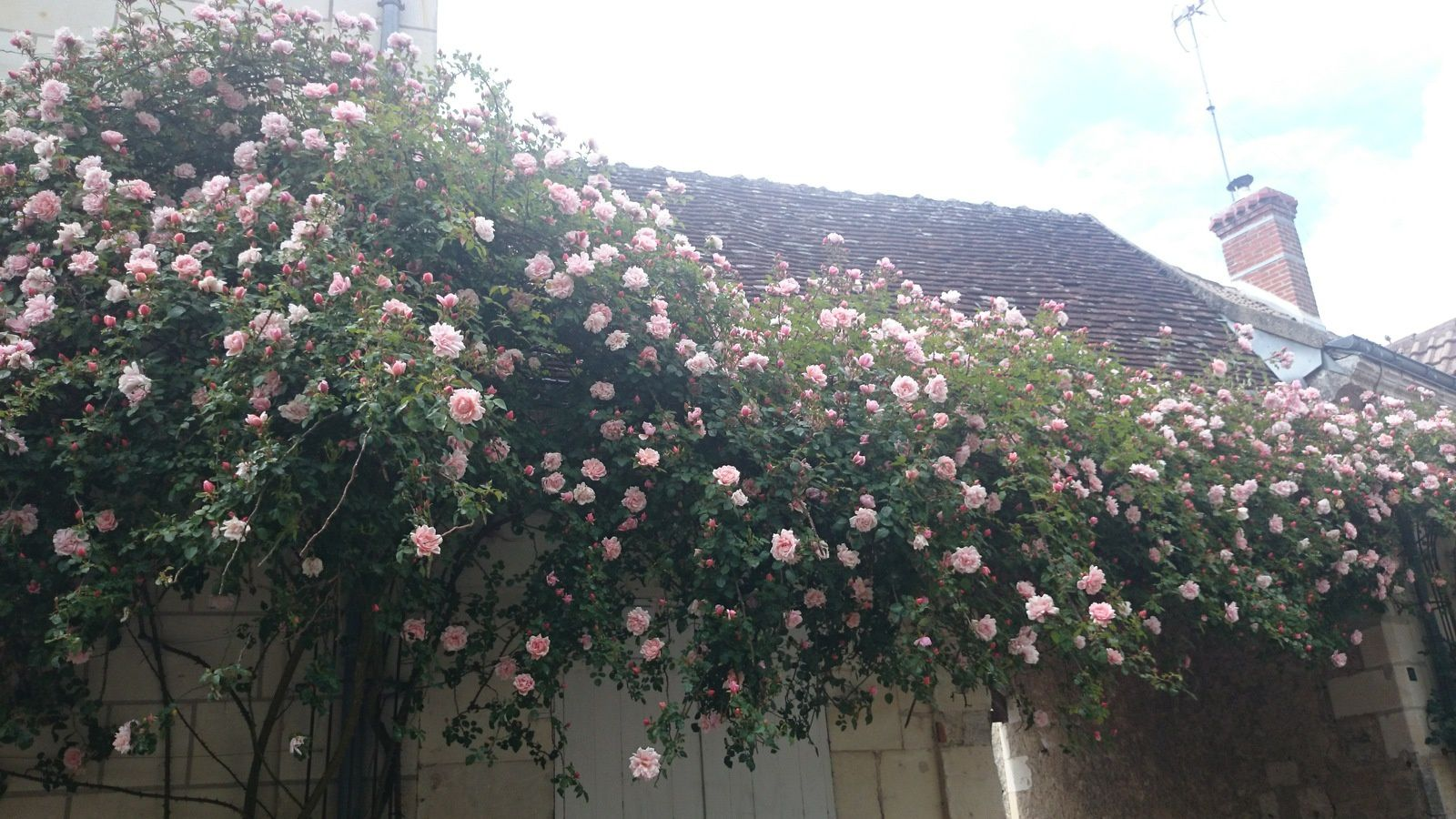 CLICK ON THE PICTURE TO SEE IT FULLY - The town's oldest rose bush planted in 1874