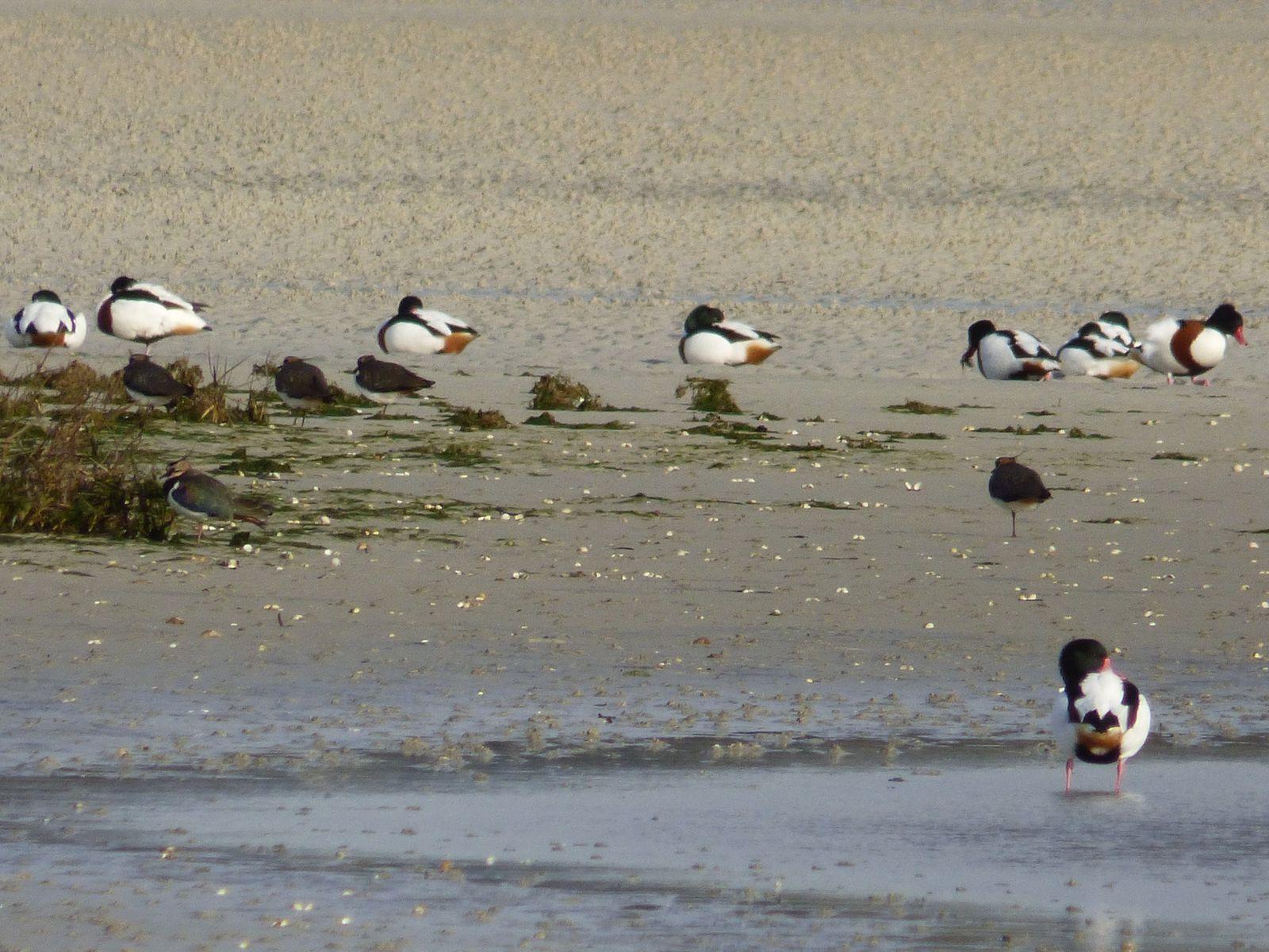 Oiseaux de mer en rafales à Curnic