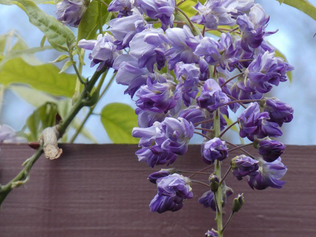 Bataille de glycines et clématites, entre notre jardin