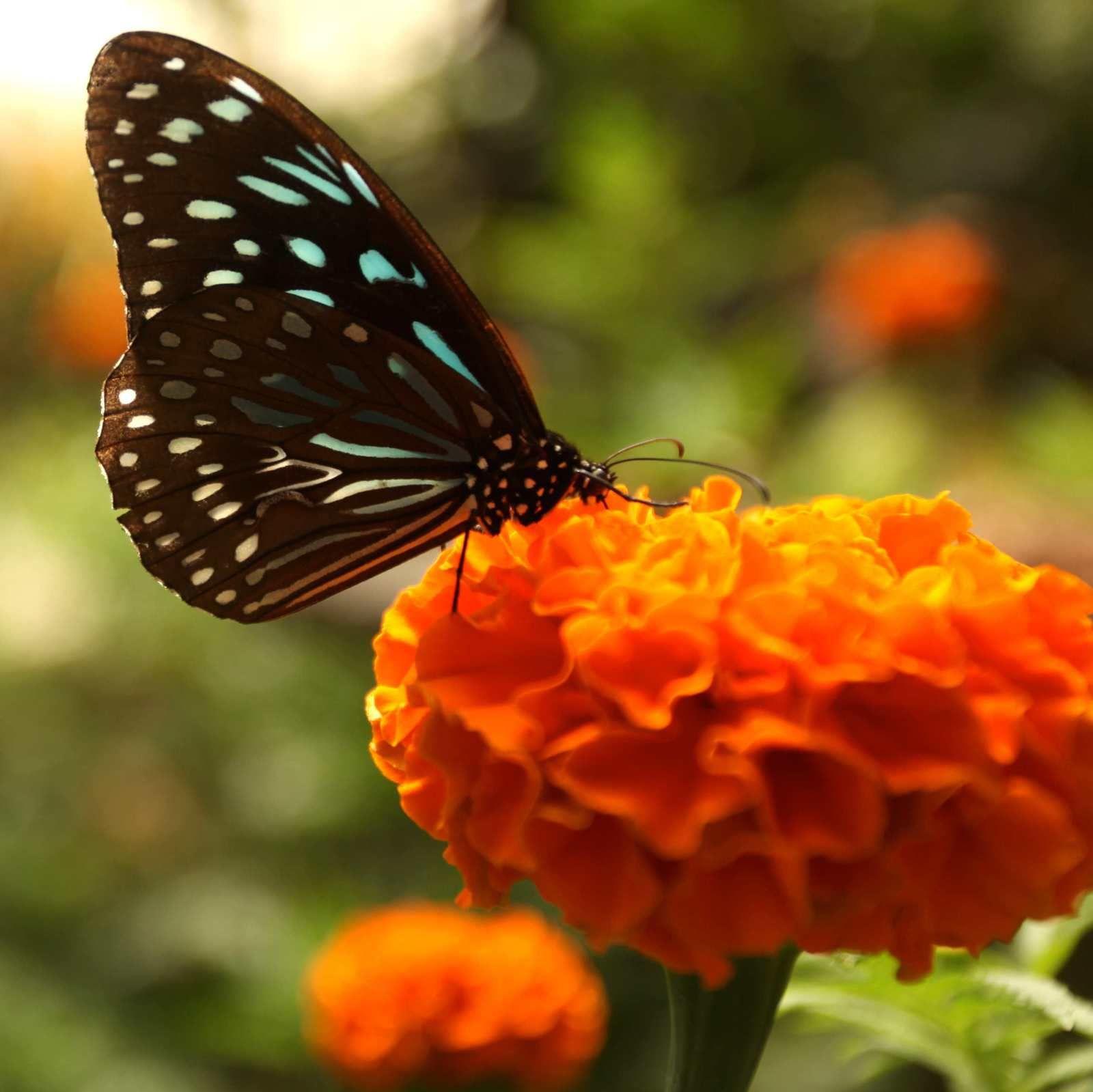 La Malaisie un pays riche en papillons
