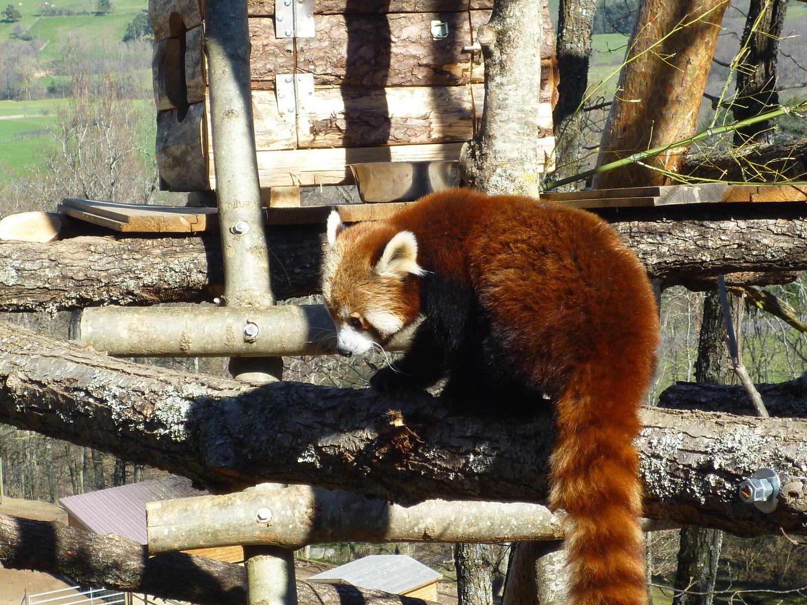 Le panda roux du parc d'Ardes sur Couze