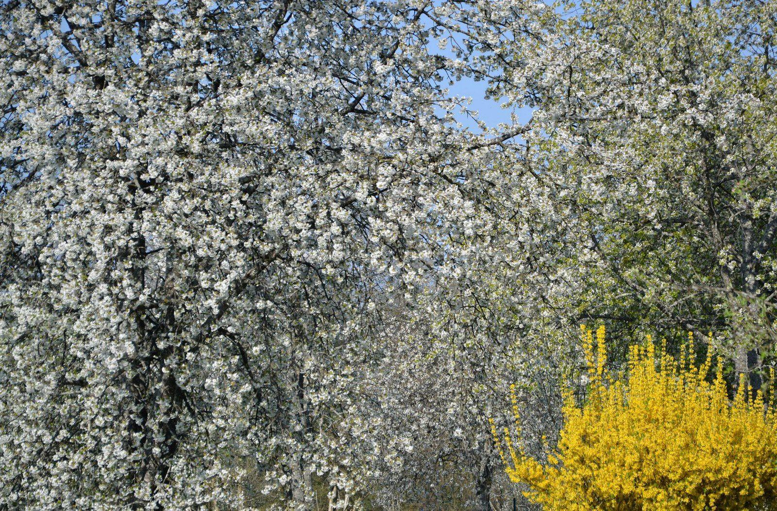 Fougerolles - floraison