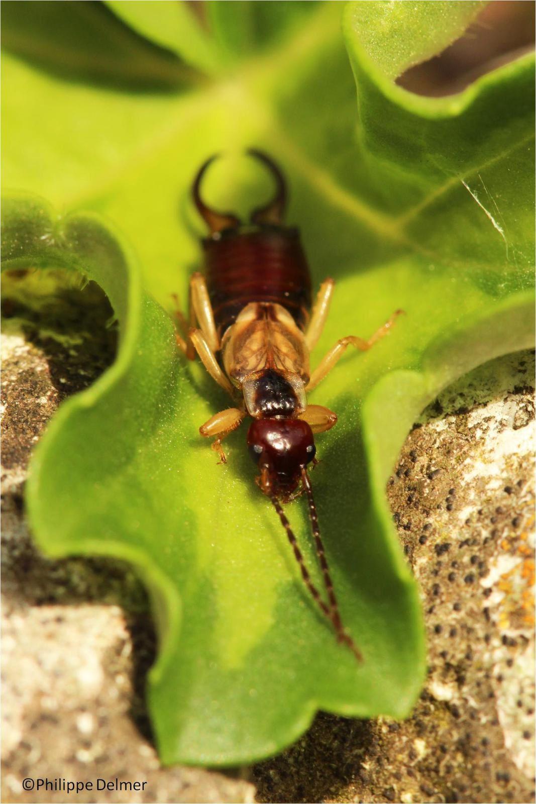 Un grand entomologiste picard : André Marie Constant Duméril
