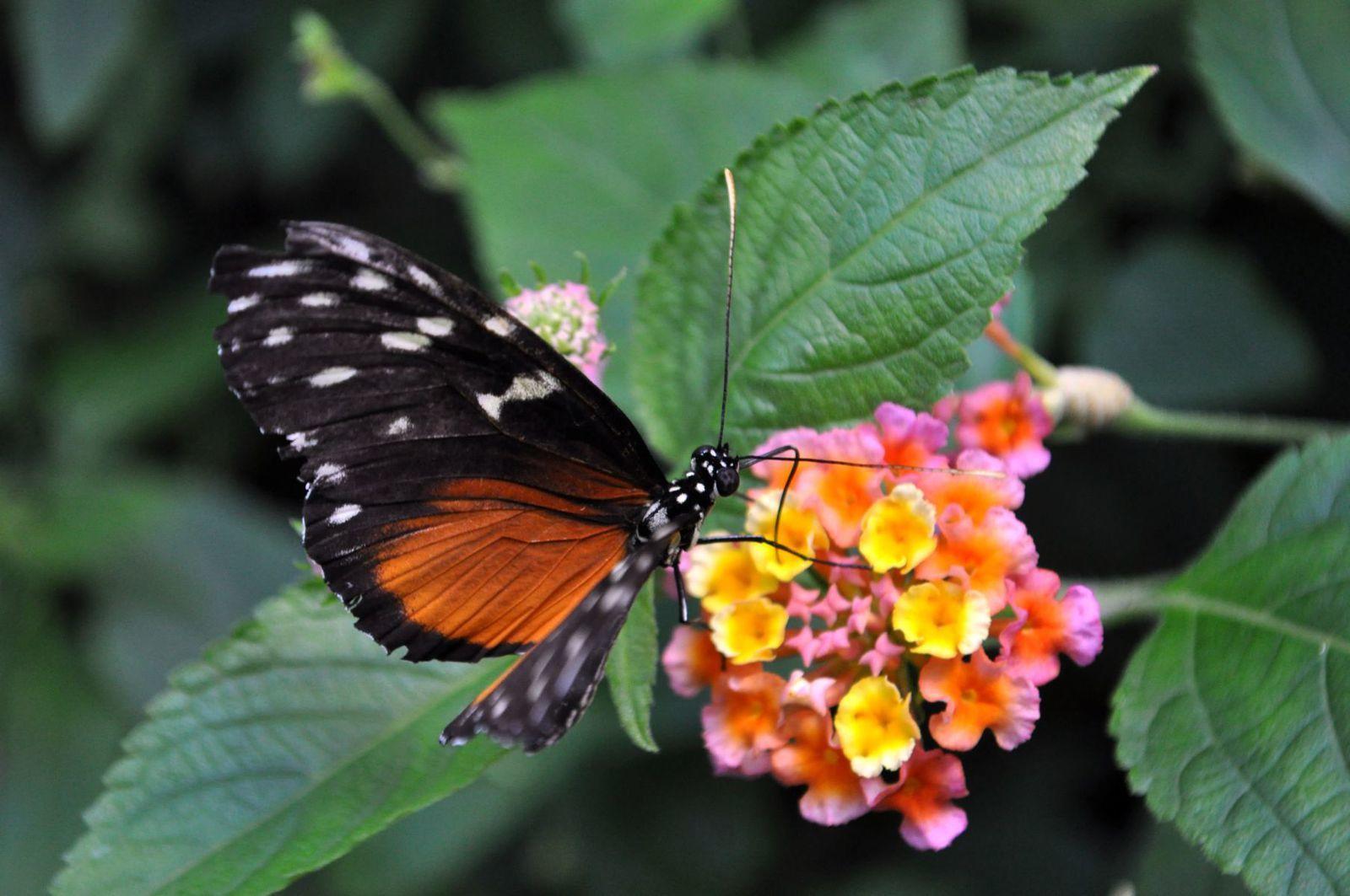 Sur la fleur dans une serre à papillons exotiques ©Roger Puff