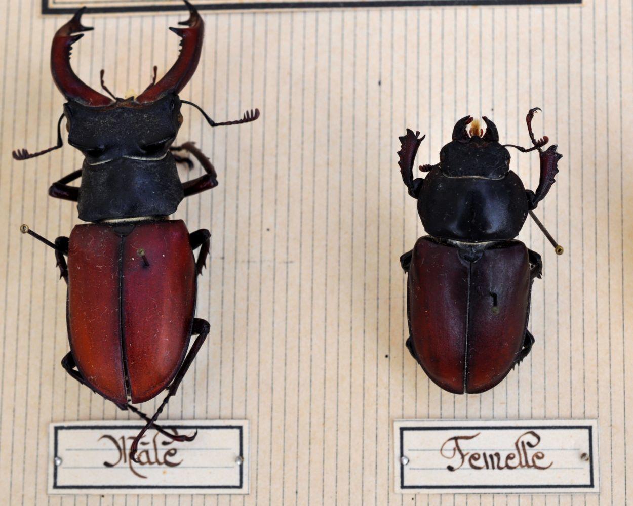 Lucanes – boite de coléoptères Collection IPLB ©Roger Puff 2015