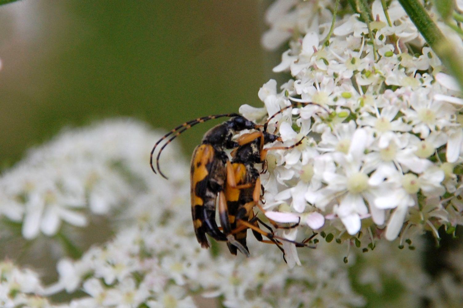 A deux c'est mieux (ruptela maculata) ©RogerPuff