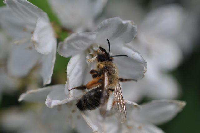 l'abeille ©RogerPuff