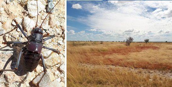 la grande sauterelle ©CAP & L'Agrion de l'Oise