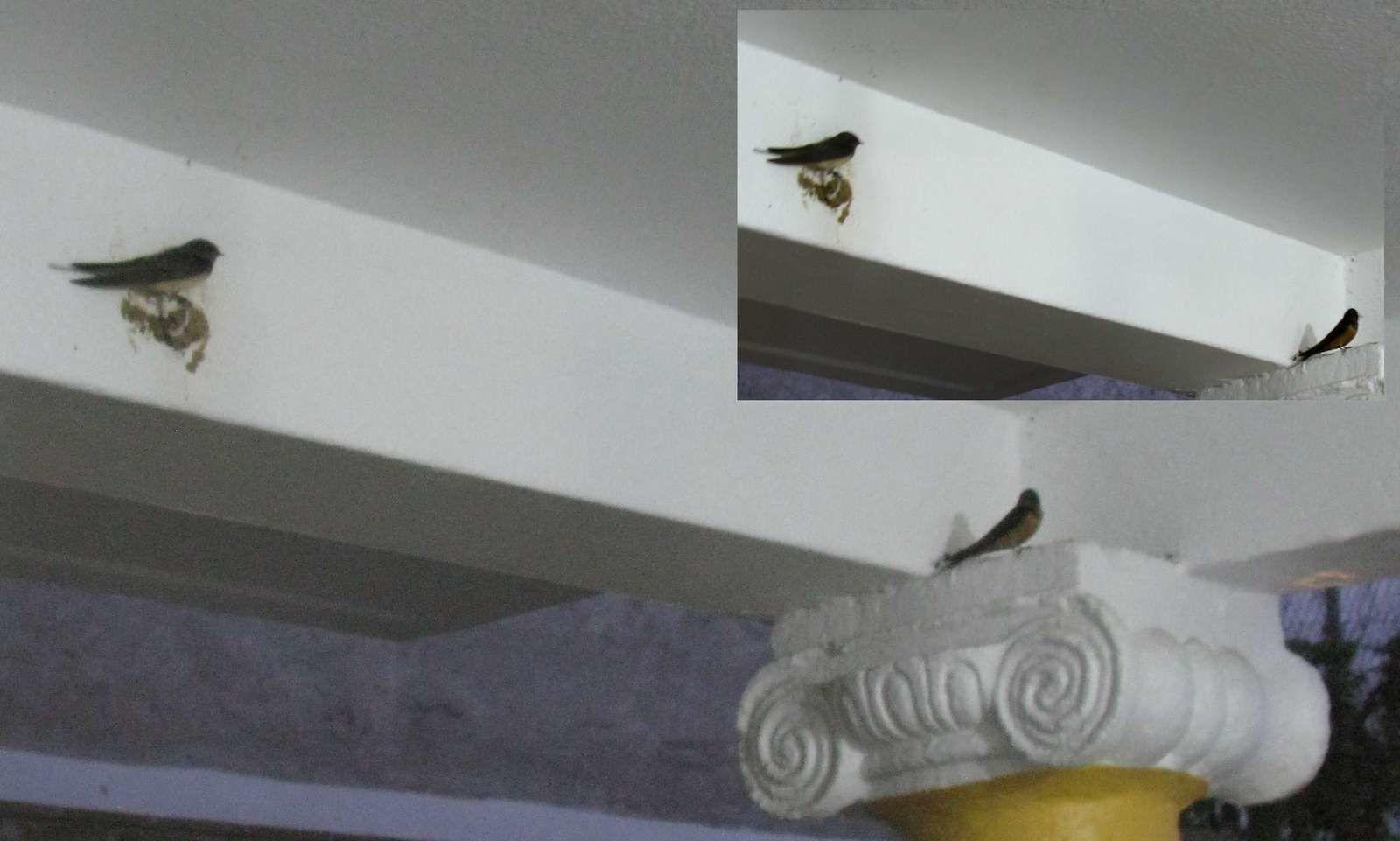 La terrasse de Cuernavaca serait-elle en train de devenir une volière ? Hirondelles et roselins...