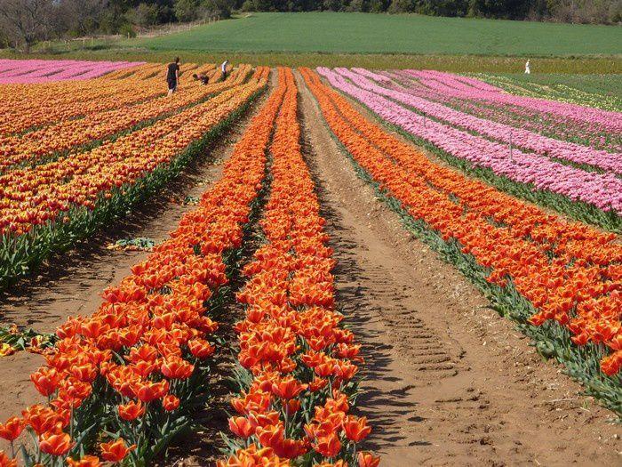 Les champs de tulipes d'Ani dans les Alpes de Haute Provence : quel bouquet !