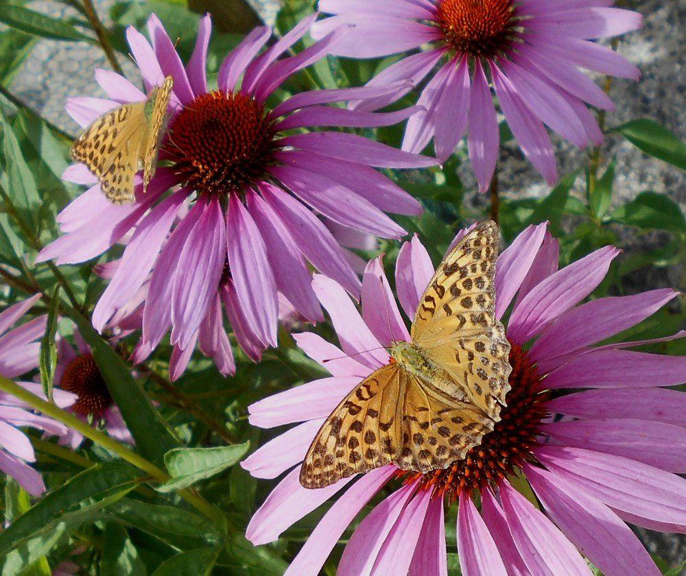 De la difficulté de déterminer certaines espèces de papillons