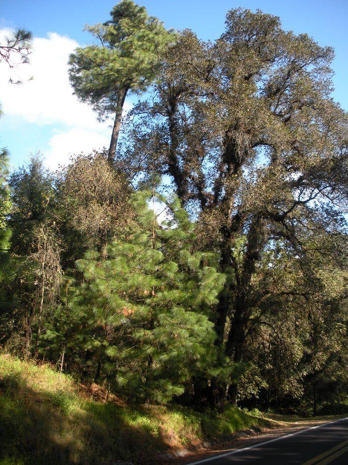 Car la forêt est de grande beauté à partir de 2400 mètres.