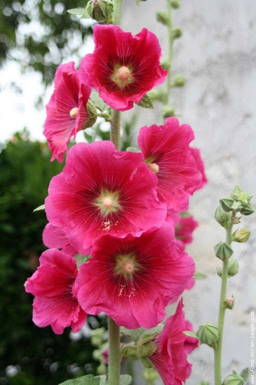 Lot graines rose tr mi re rose - Planter des roses tremieres ...