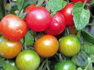 Les tomates...de madame S.