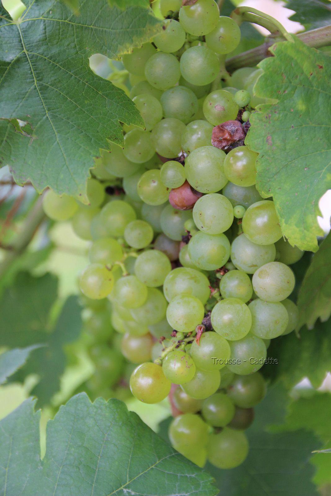 Raisins et vignes