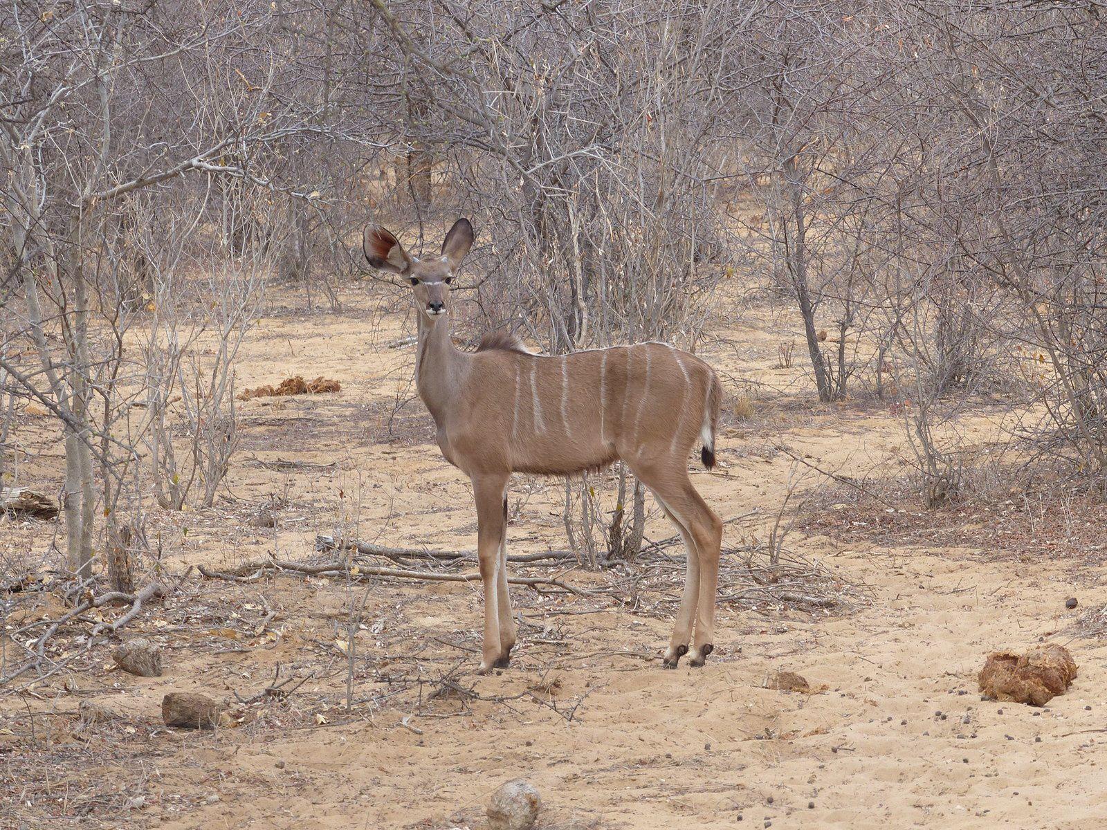 Impala, pintades de Numibie et gnou