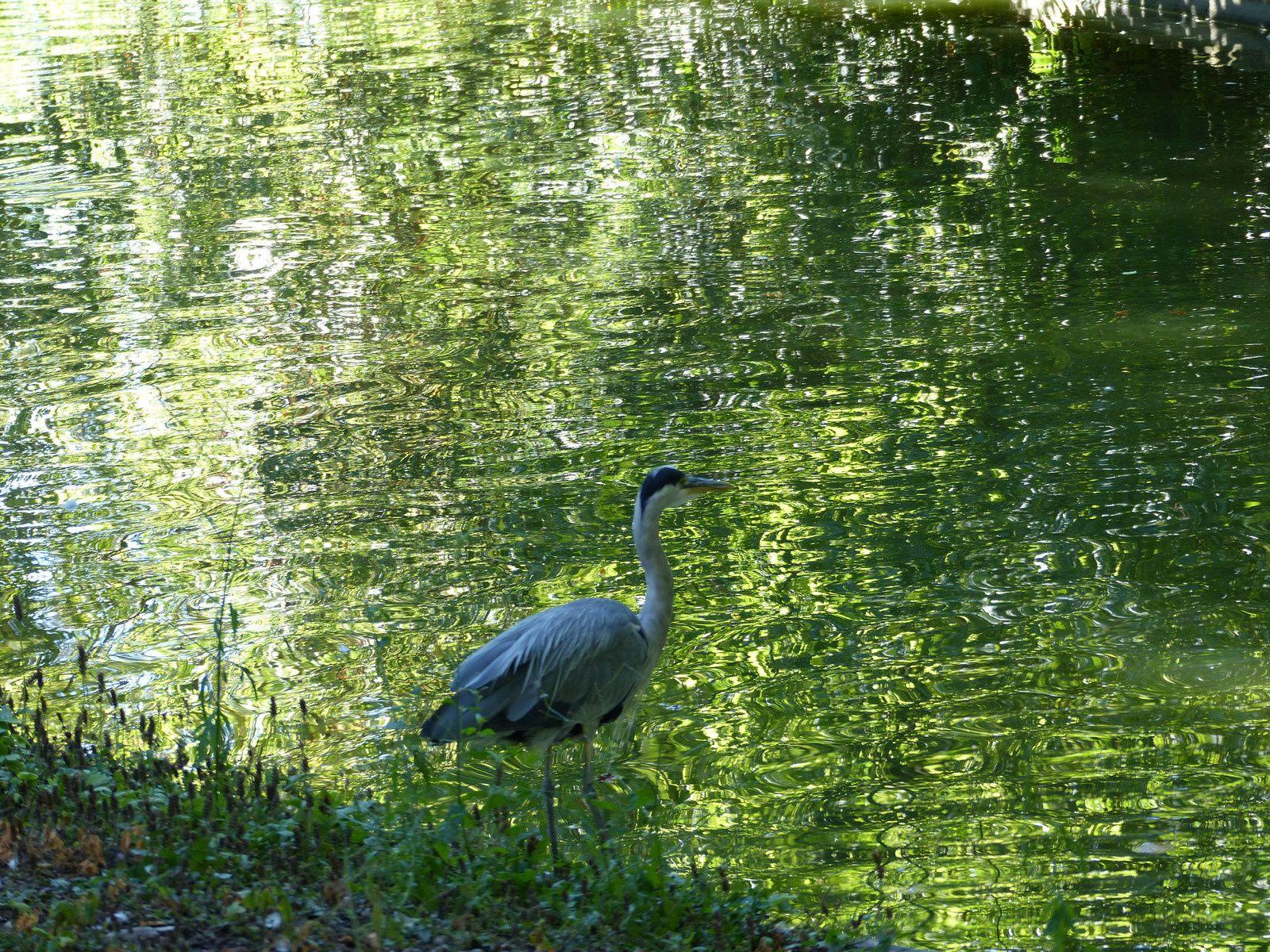 Quel est ce mystérieux oiseau en vacances chaque année au Jardin Public ?