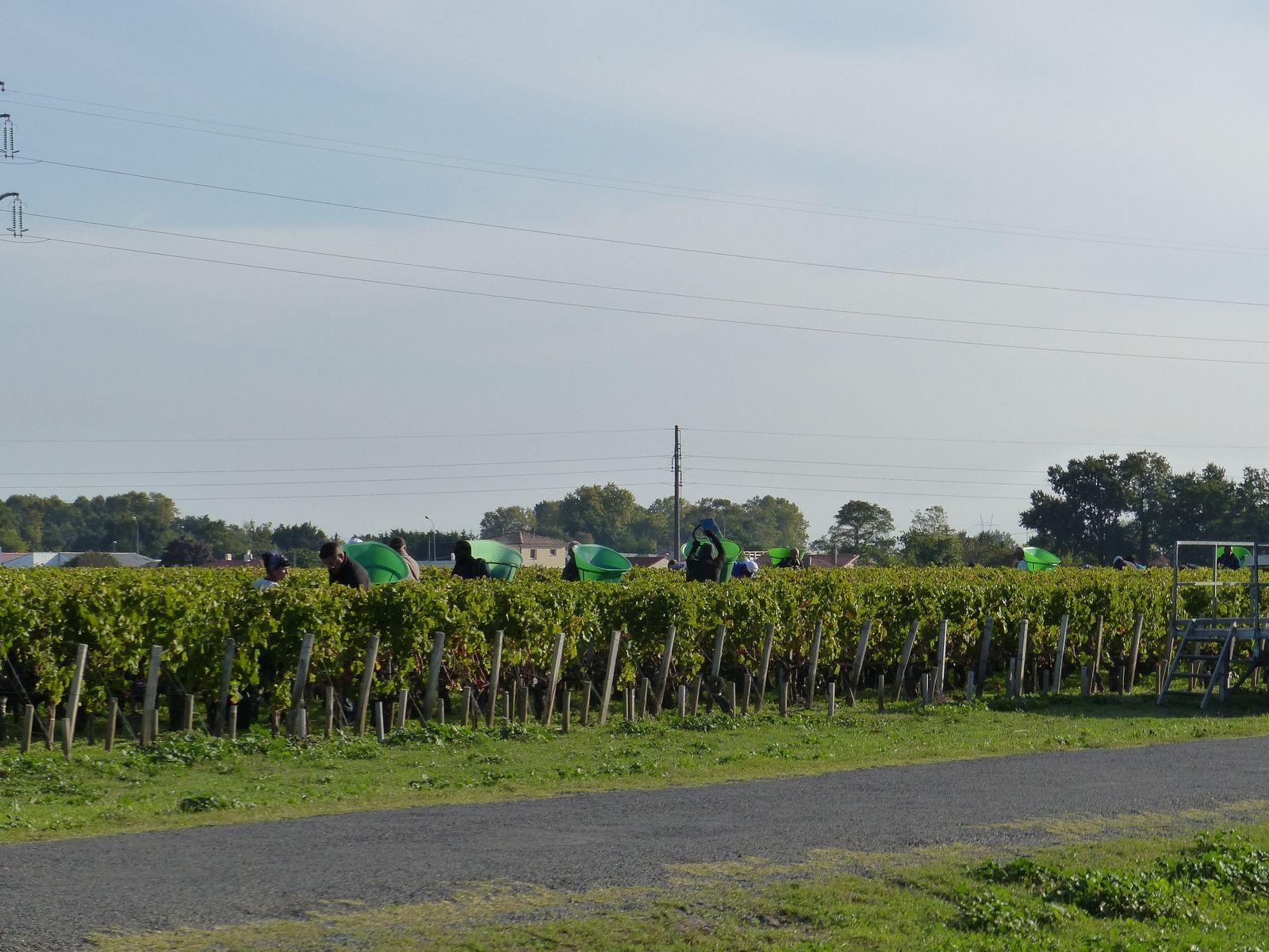Vendanges dans le bordelais . Entre grands crus et vins moins prestigieux  , 2 techniques de vendanges.