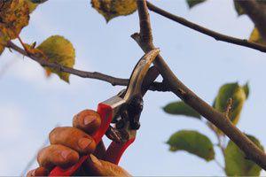 Cours de taille d arbres fruitiers le 5 mars griesbach - Tailler les arbres fruitiers ...