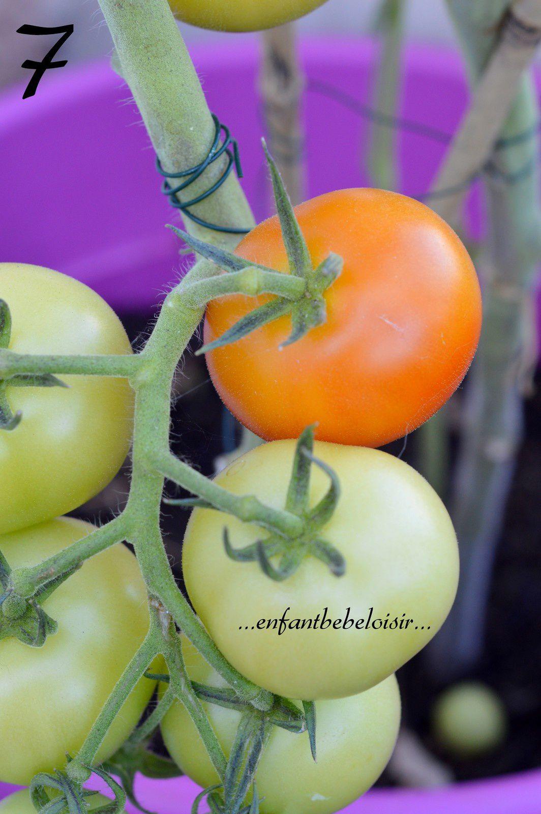Nos tomates de la graine à l'assiette