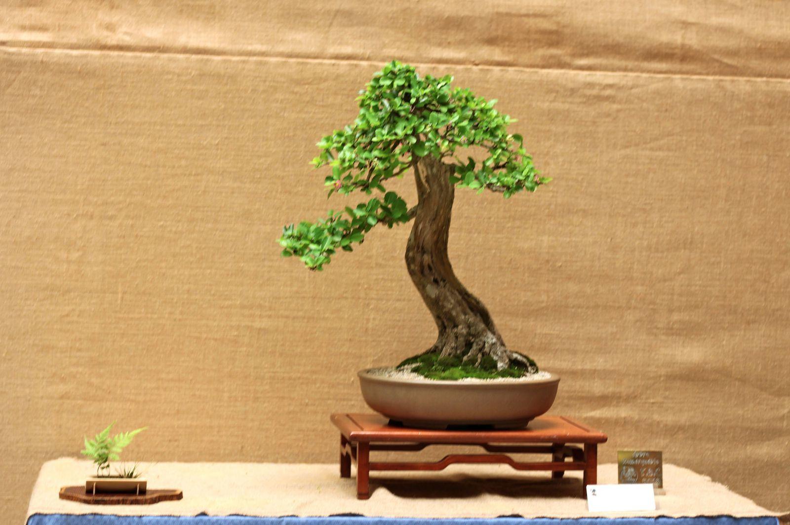 Arbre remarquable 2012, cerisier pays ( Malpighia Punicifolia) , droit informel (moyogi), 2004, à Juliette RETOUR