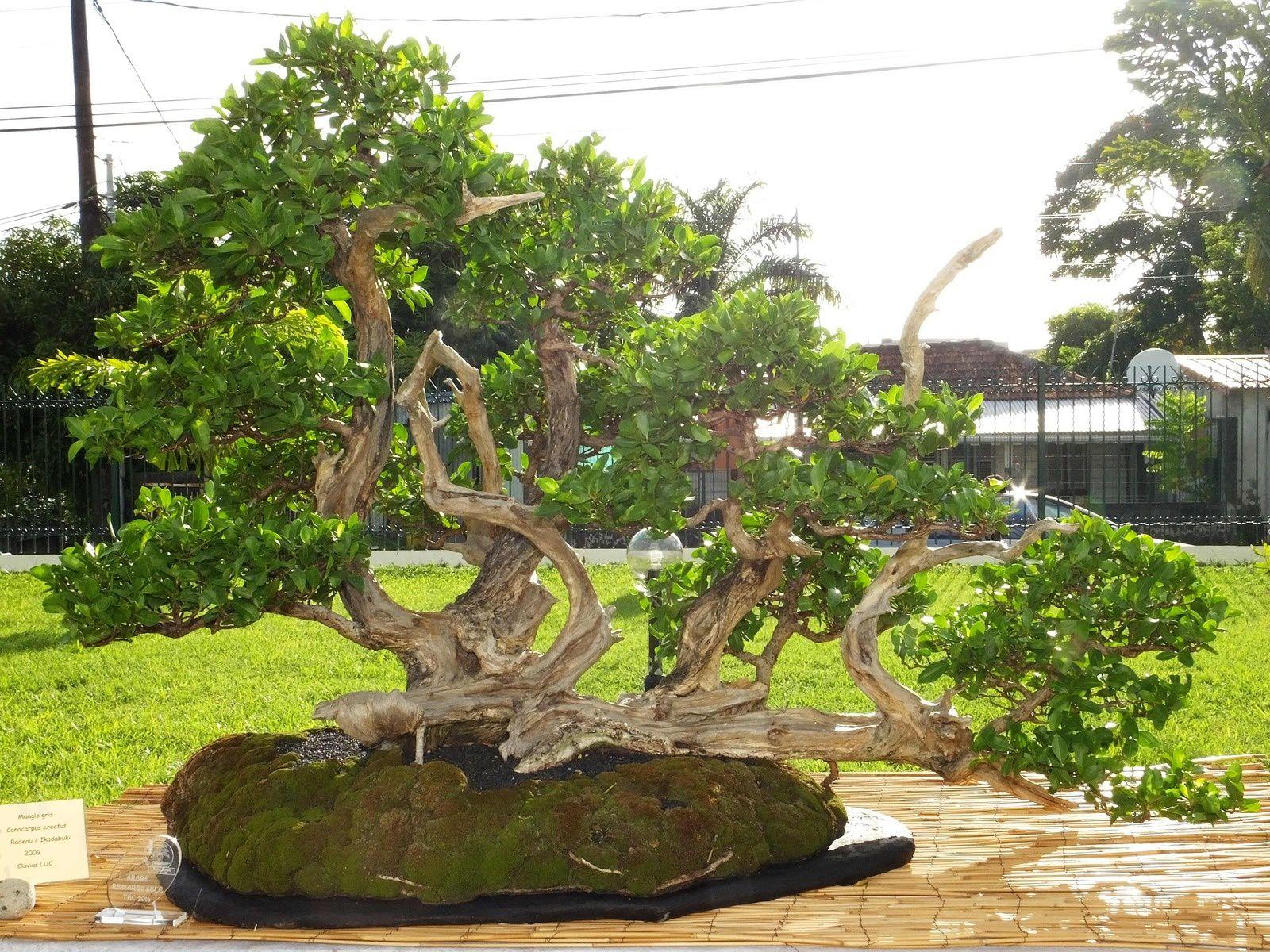 Arbre remarquable TBC 2016. Conocarpus erectus. Mangle gris. Radeau