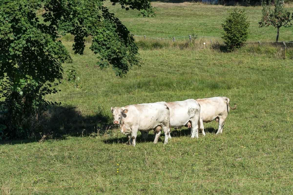 Naissance d'une vache limousine dans les environs de BRUYÈRES-VOSGES