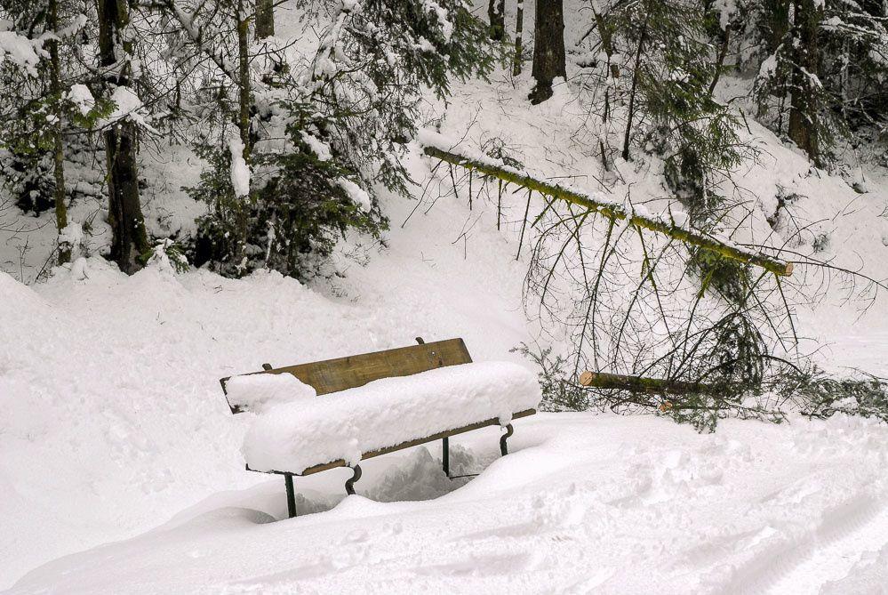 Peu après l'ancienne carrière, un banc recouvert d'un coussin neigeux certainement un peu trop humide pour s'assoir ! A côté, un jeune sapin n'a pas résisté au poids de la neige. Il s'est couché ce qui lui a valude se faire tronçonner. Les cercles concentriques permettent de déterminer l'âge du résineux. Le nombre d'années de l'arbre et égal au nombre de cercles. A priori, ce résineux a dix sept ans. (Difficile de compter les cercles à la périphérie)