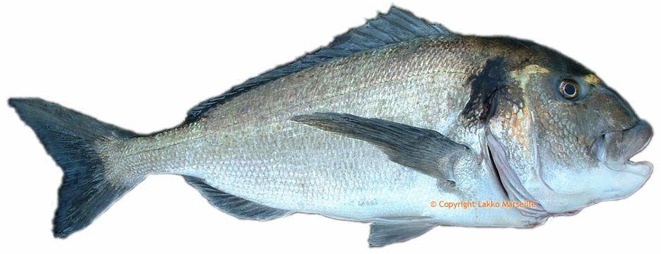 Comment reconnaitres un poisson d 39 levage for Elevage poisson rouge