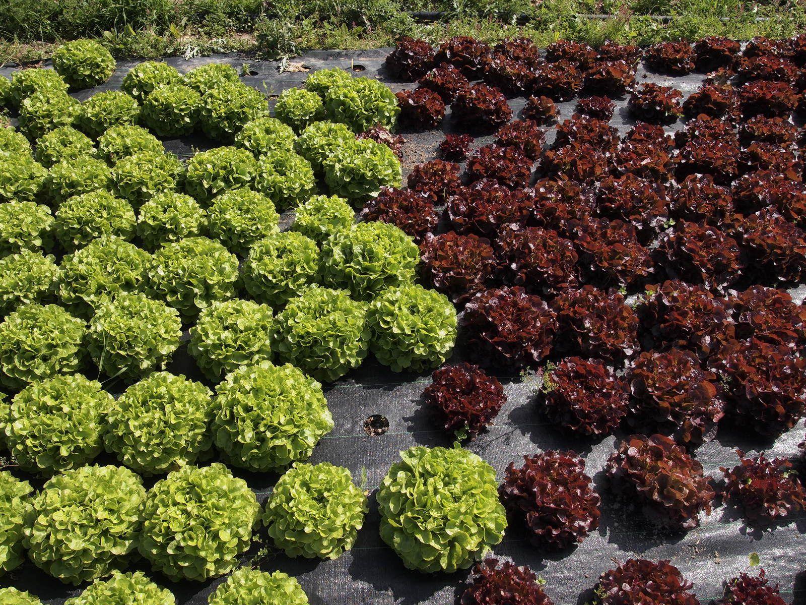 repiquage des salades