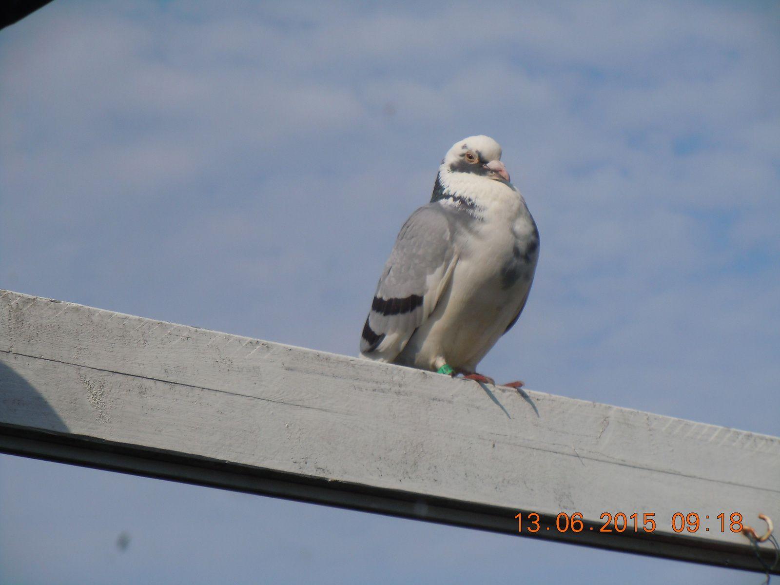 Le pigeon voyageur qui ne voulait pas rentrer chez lui