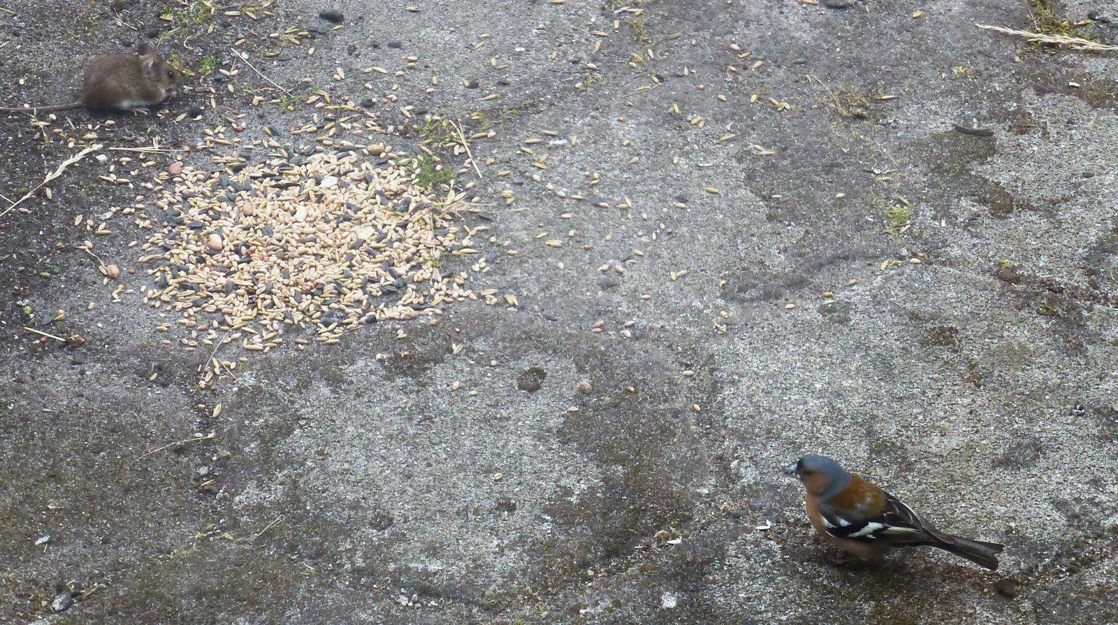 Le pigeon voyageur (suite)